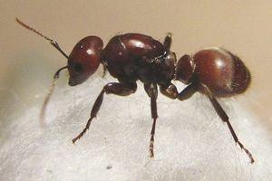 Как вывести домашних муравьев