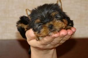 Как приучить щенка к туалету дома