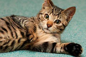 Как избавиться от запаха кошачьей мочи в квартире
