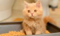 Как быстро приучить котенка к лотку – советы для начинающих кошатников