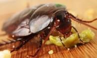 Как избавиться от тараканов народными средствами – быстро и безопасно