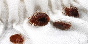 Как бороться с клопами в квартире – изучаем народные рецепты от паразитов