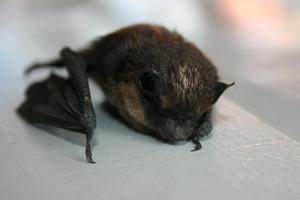 почему залетают летучие мыши в дом