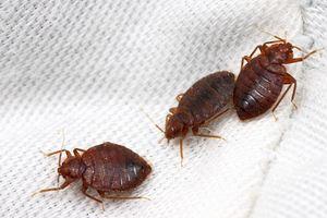 летающие насекомые в квартире фото