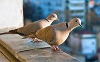 на балкон залетают голуби