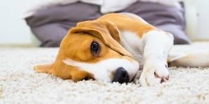 Как избавиться от блох в доме эффективно и быстро