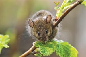мыши на дачном участке