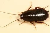 вывести черных тараканов