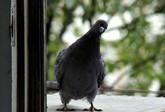 избавиться от голубей на подоконнике