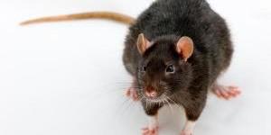 Как вывести крыс в доме: эффективные методы