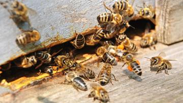 дикие пчелы в стене
