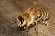 вывести пчел