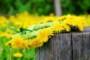 Как отстирать пятна от сока, зелени и пыльцы одуванчиков с одежды