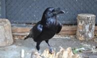 Вороны во дворе дома: эффективные и гуманные методы отпугивания птиц