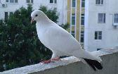 на балкон слетаются голуби