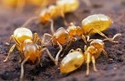 вывести желтых муравьев