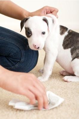 запах мочи собаки на ковре