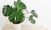 Монстера в доме: верить ли суевериям о цветке?