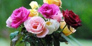 Как сохранить розы в вазе – любуемся любимыми цветами дольше