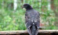 Как избавиться от голубей на балконе – прогоняем надоевших птиц
