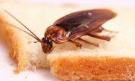 Чем травить тараканов в квартире – народные и современные средства