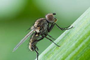 Луковая муха в огороде: эффективные меры борьбы с вредителем