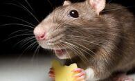 Как избавиться от мышей в квартире – используем самые эффективные методы
