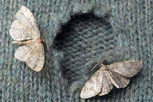 Как избавиться от моли в квартире: эффективные методы борьбы с насекомыми