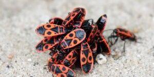 Участок и дом атаковали жуки-солдатики: как избавиться от вредителей