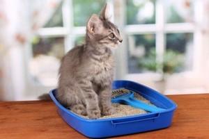Як привчити кошеня до туалету будинку