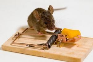 як вивести мишей з квартири