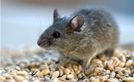 позбутися мишей в будинку