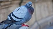 позбутися від голубів на підвіконні