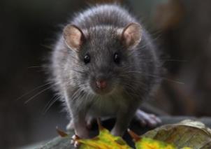 засоби проти щурів