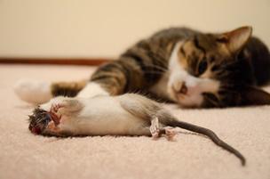 як позбутися від щурів