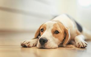 ламінат пахне собакою