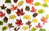 сушити листя для гербарію