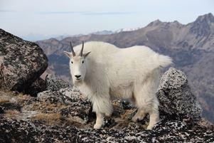 тибетська коза