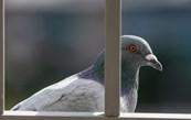 на балкон злітаються голуби