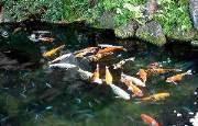 почистити воду в ставку від водоростей