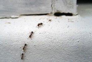 завелися мурахи
