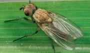 боротися з лушпиння мухою на городі